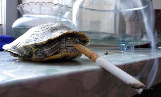 Сенсация! Ученым удалось накурить черепашку!