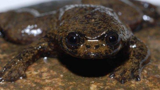 На Борнео найдена лягушка, у которой нет легких