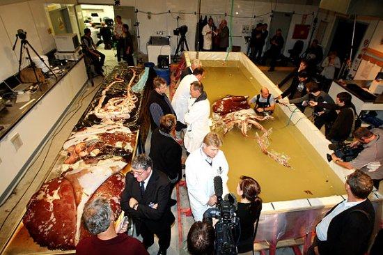 Новозеландские ученые изучают гигантского кальмара