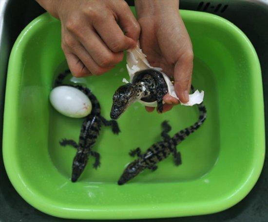 Тайские крокодильчики