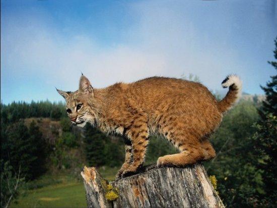 Дикие кошки (часть 2)