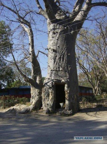 Самое полезное дерево!