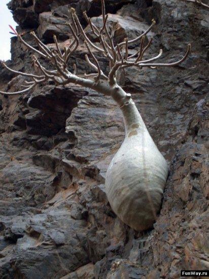 Необычные деревья островов Сокотра