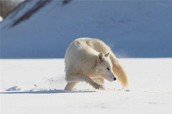 Снежные хищники