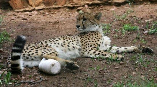 Животное протезирование
