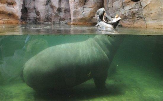 В мире животных: голодный гиппопотам Каванга