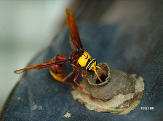 Как строят домики осы