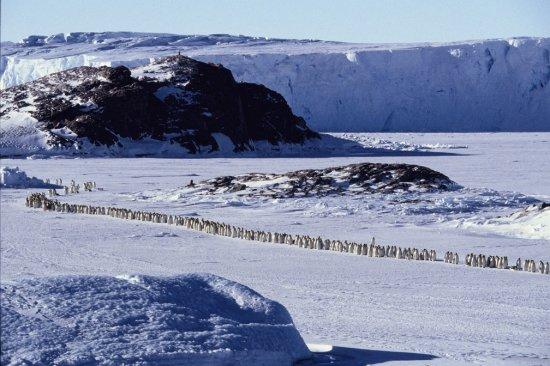 Немного пингвинов
