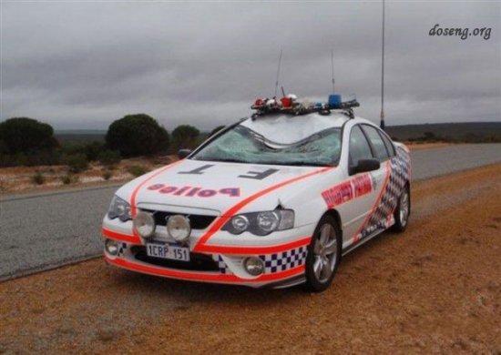 Кенгуру против полицейской машины