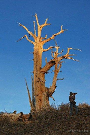 Древнейшее дерево Земли