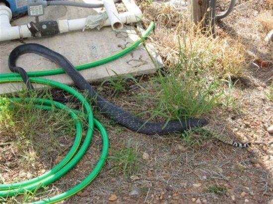 Черная змея - убийца змей